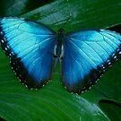 Blue Morpho 2 by patti4glory