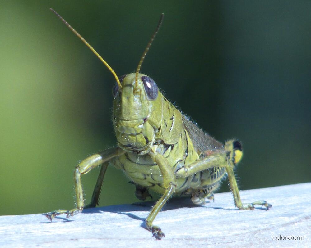 Grasshopper portrait by colorstorm