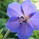 Perennial Geranium by Diane Petker