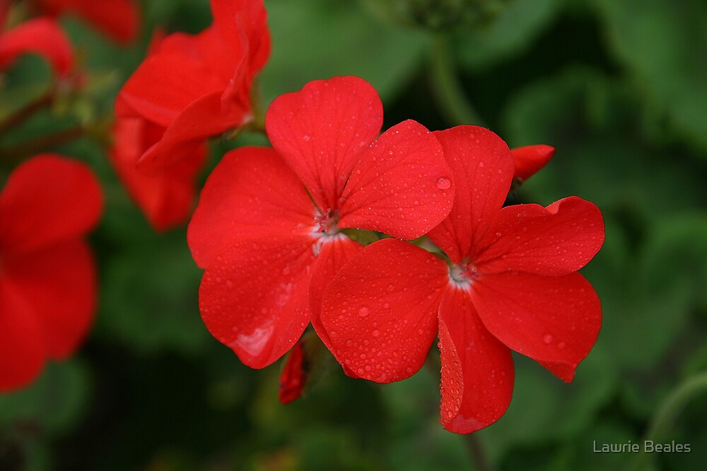 Deep Red Geraniums by Lawrie Beales