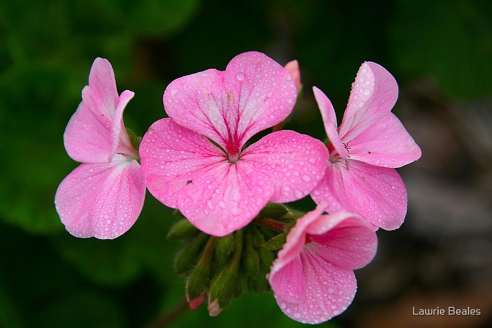 Delicate Pale Pink Geraniums by Lawrie Beales