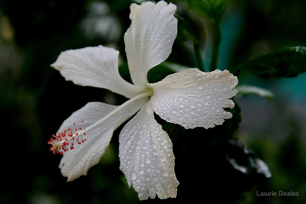 Unusual White Hibiscus  by Lawrie Beales