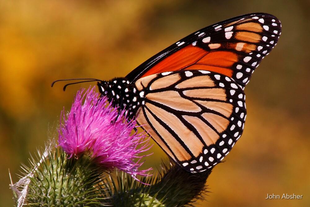 Monarch Butterfly by John Absher