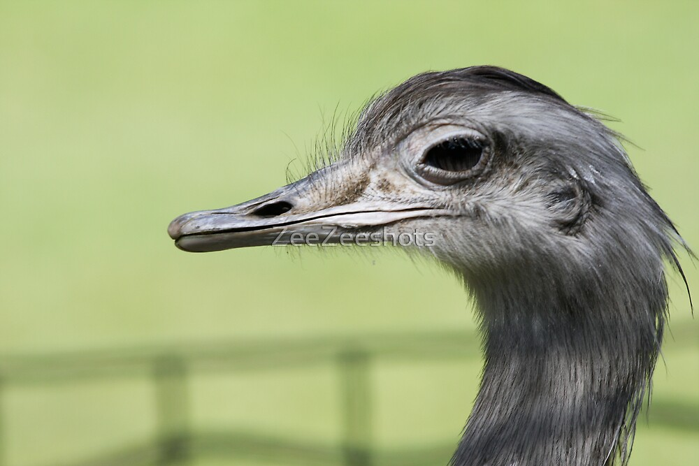 Ostrich  by ZeeZeeshots