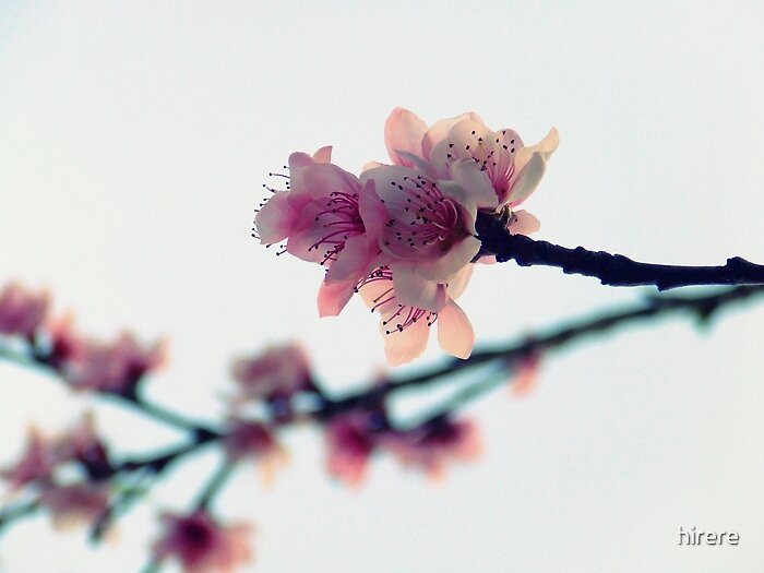 Peach Blossom by hirere