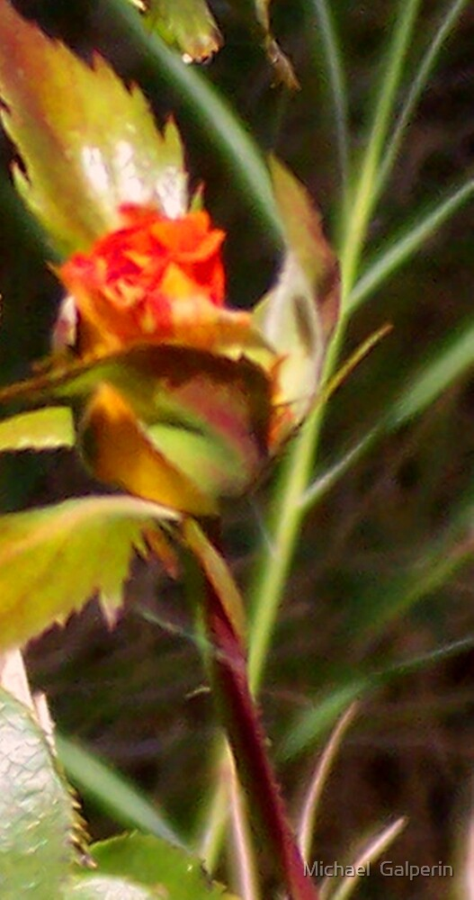 New rose by Michael  Galperin