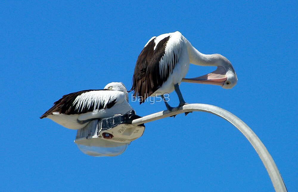perched pelicans by bally58