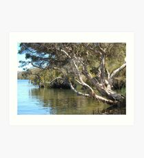 Paperbark on the Blackwood river Art Print