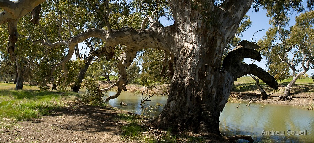 rivergum by Andrew Cowell