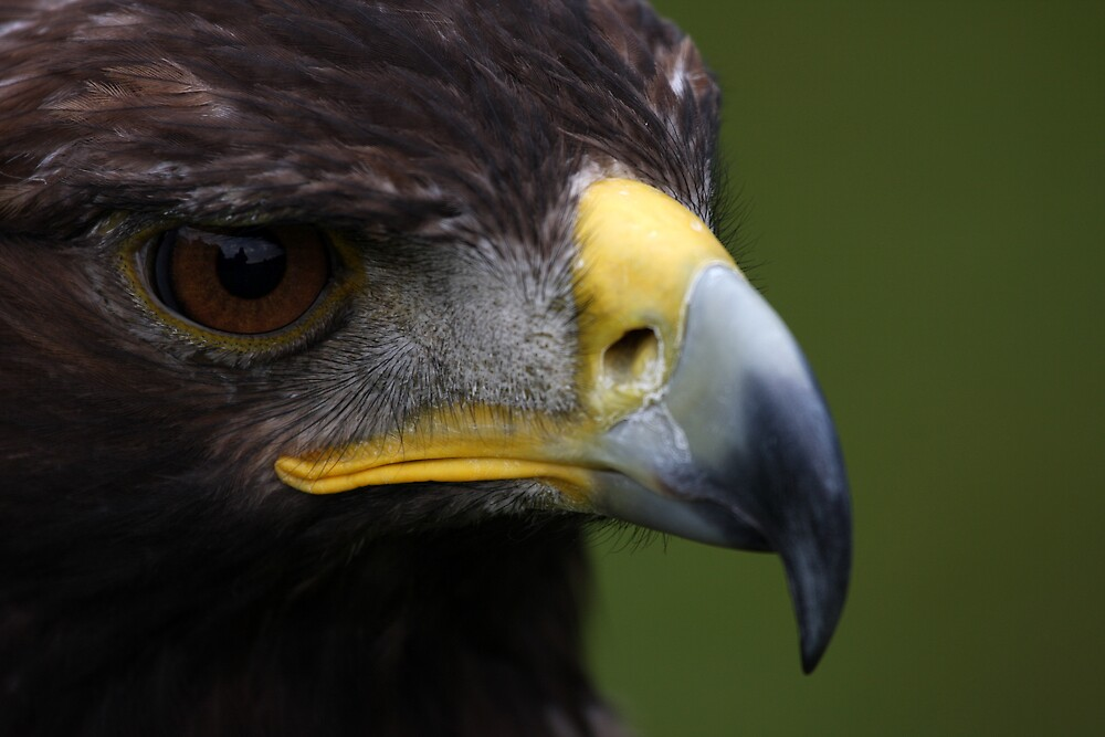 I in a Golden Eagle's Eye by Steiner62