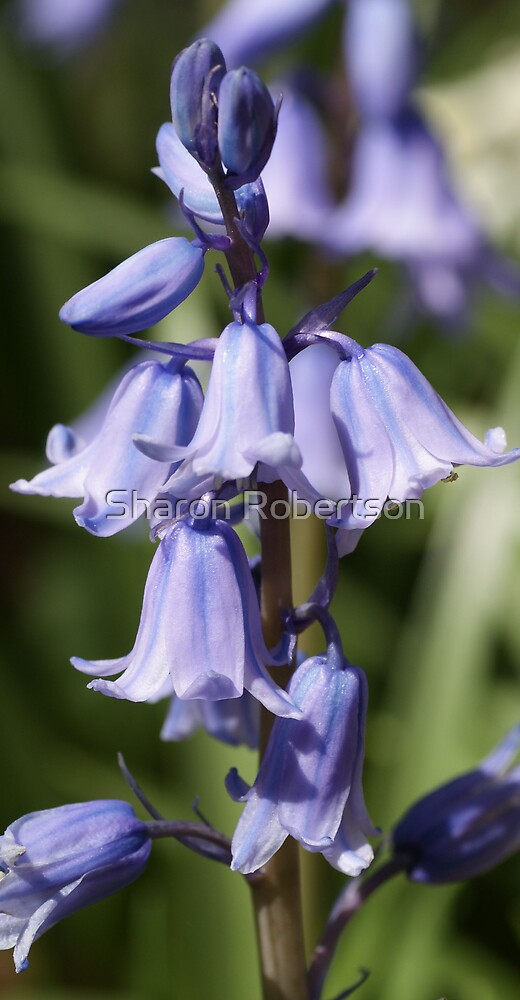 Blue Bells by Sharon Robertson