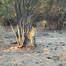 Cheetah Cub by Jewell