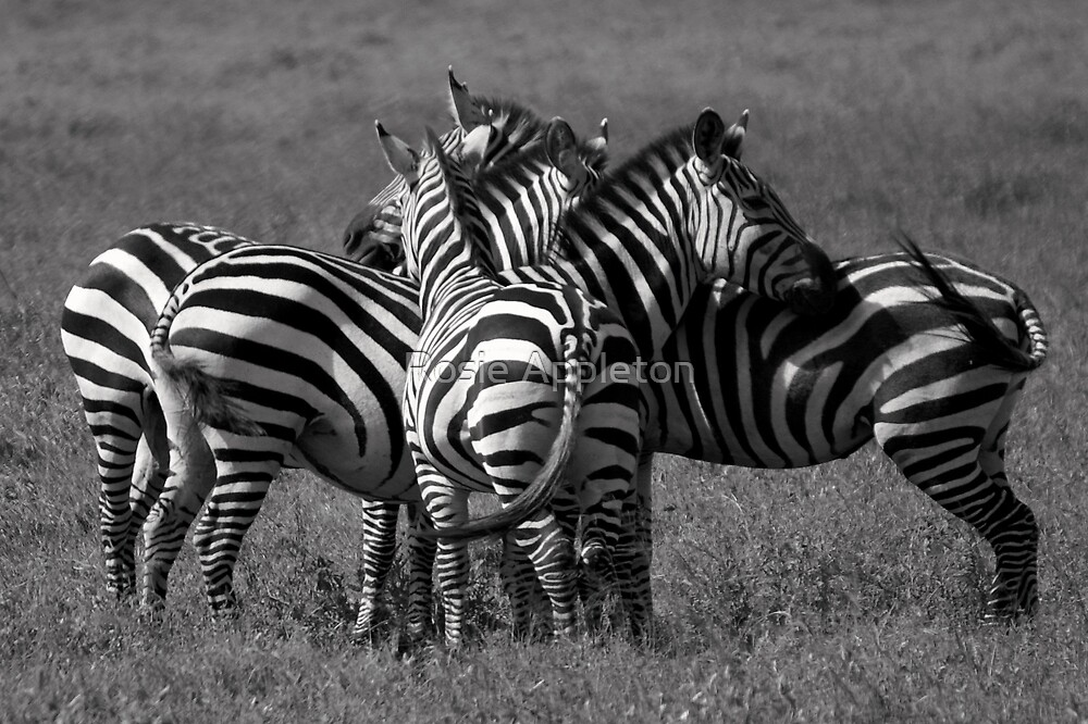 Zebra Zigzag by Rosie Appleton
