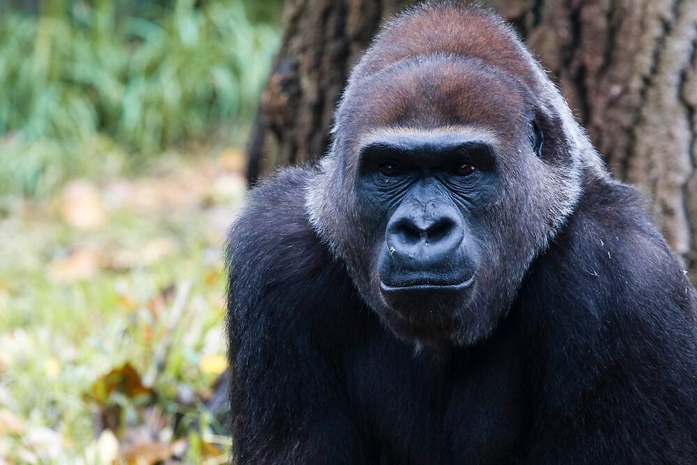 Gorilla by Michael Freedman