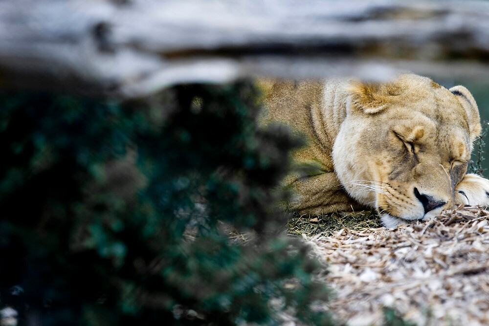 Lioness by Michael Freedman