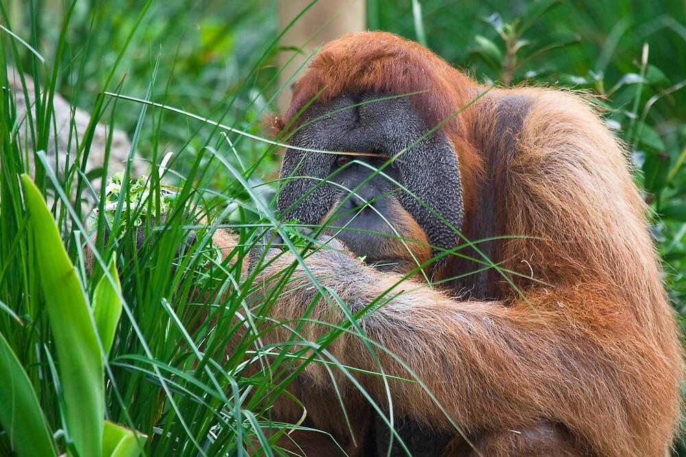 Orangutan by Michael Freedman