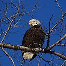 Bald Eagle by swaby