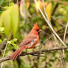 A resting male cardinal by Josef Pittner