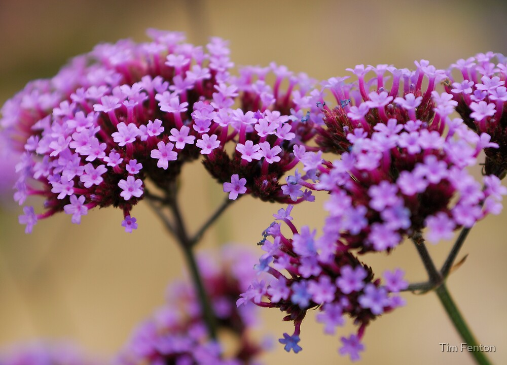 Verbena by Tim Fenton
