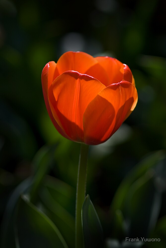 Red Tulip by Frank Yuwono