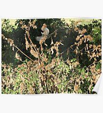 Black Cap bird in flight Poster