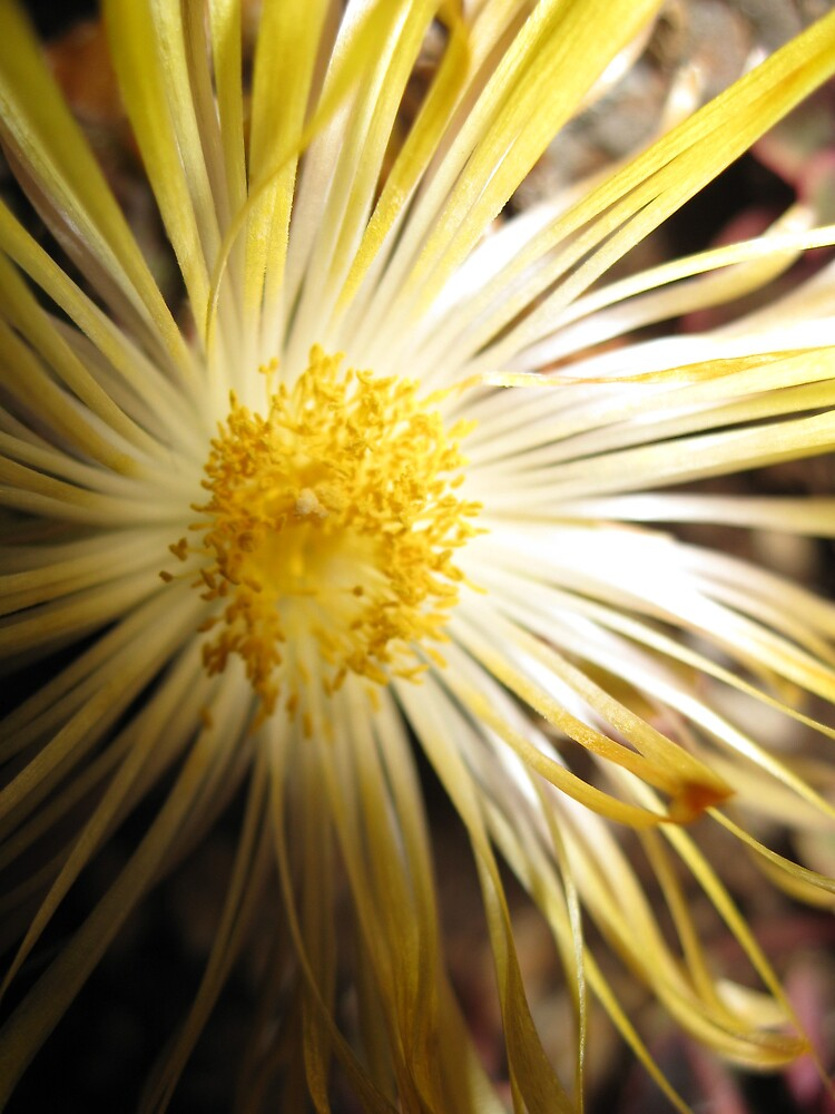 YELLOW CACTUS BLOOM by pammie13
