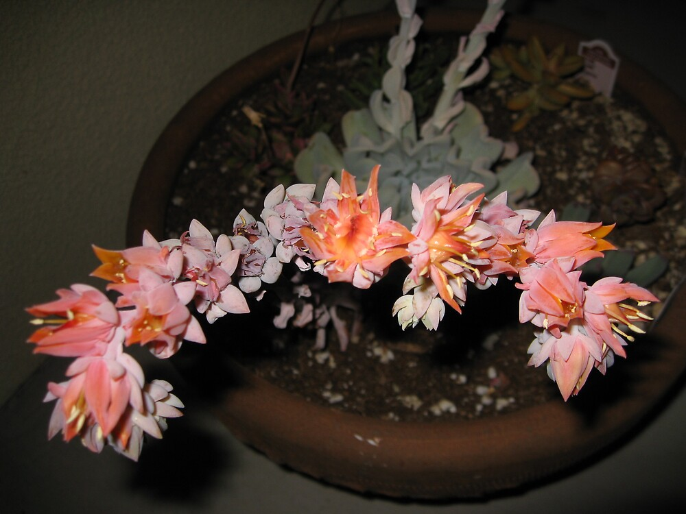 PINK CATUS BLOOM  by pammie13