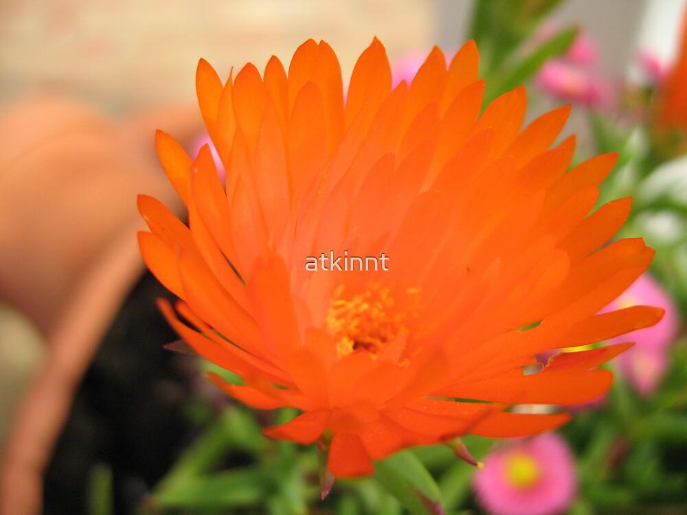 Orange Flower by atkinnt