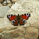 Irish Peacock Butterfly  by Alice McMahon