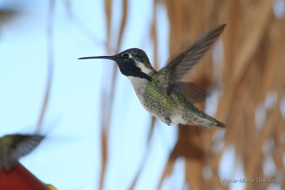 White-eared Female Hummingbird by Anne-Marie Bokslag