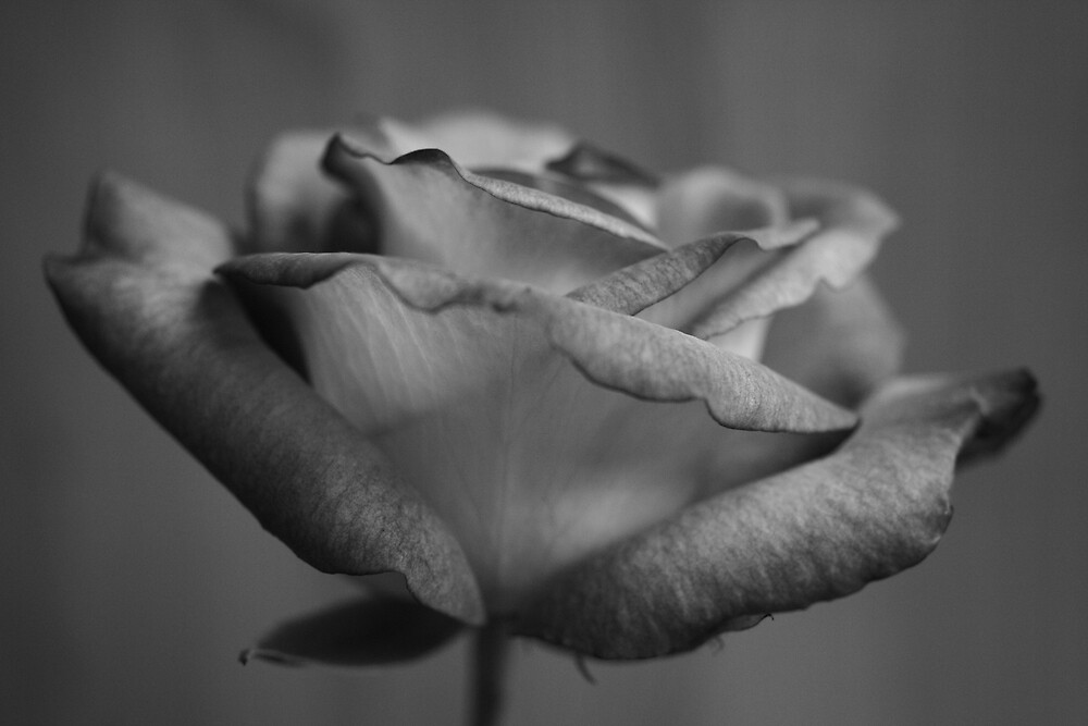 Pink Rose in Black and White by Graham Ettridge