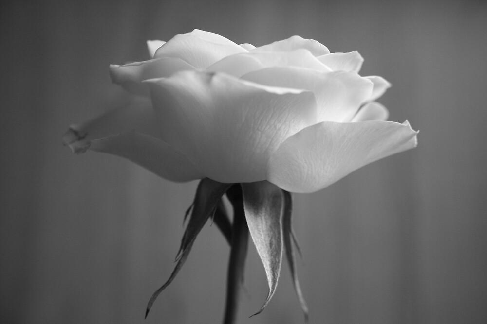 Yellow Rose in Black and White by Graham Ettridge