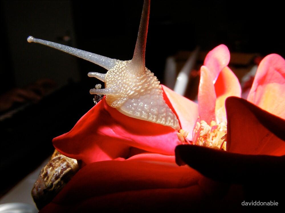 Snail by daviddonabie