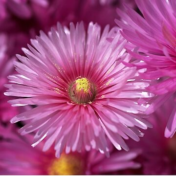 Pink Pigface Flowers by bubbleblue