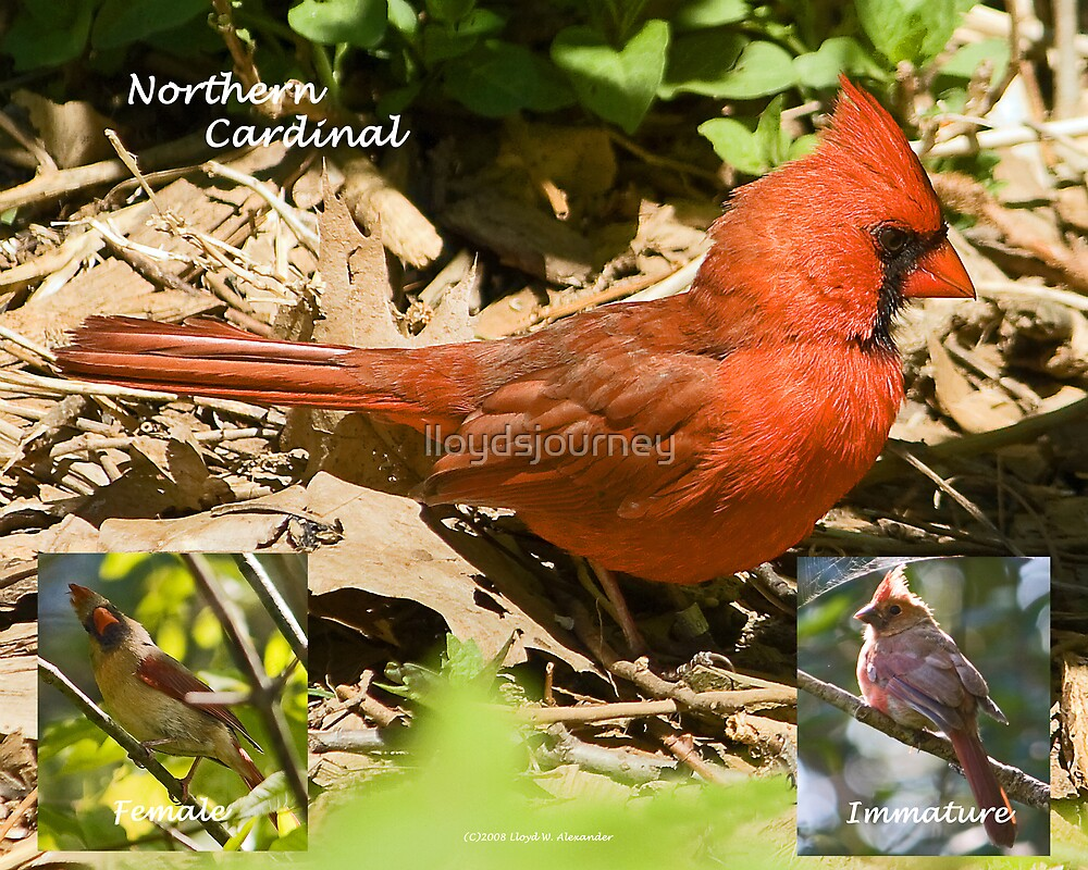 Cardinal Collage by lloydsjourney