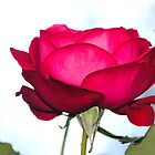 A Red Rose...........Lyme Dorset UK by lynn carter