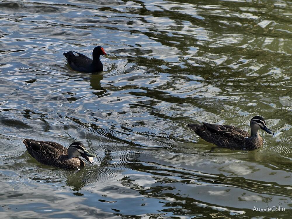 Ducks Swimming by Colin Van Der Heide
