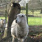 Standard Issue English Sheep by Cleburnus