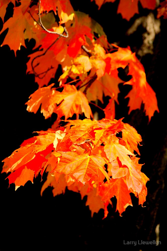 Maple Leaf Forever.: The Colours are coming..The COLOURS ARE COMING! by Larry Llewellyn