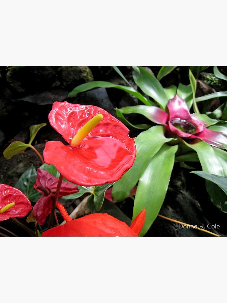 Red Anthurium by alwaysdrc
