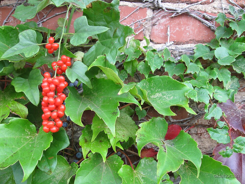 Red Berries, Green Vine and Brick Wall by oklahoman