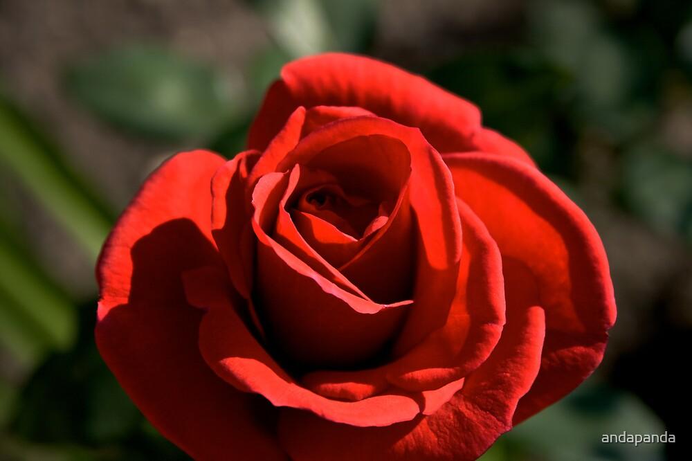 Rose by andapanda