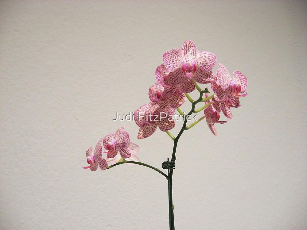 MFA Orchid by Judi FitzPatrick
