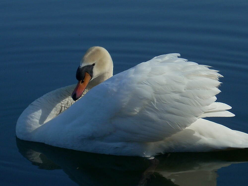 THE BEAUTY OF A SWAN by MsLiz