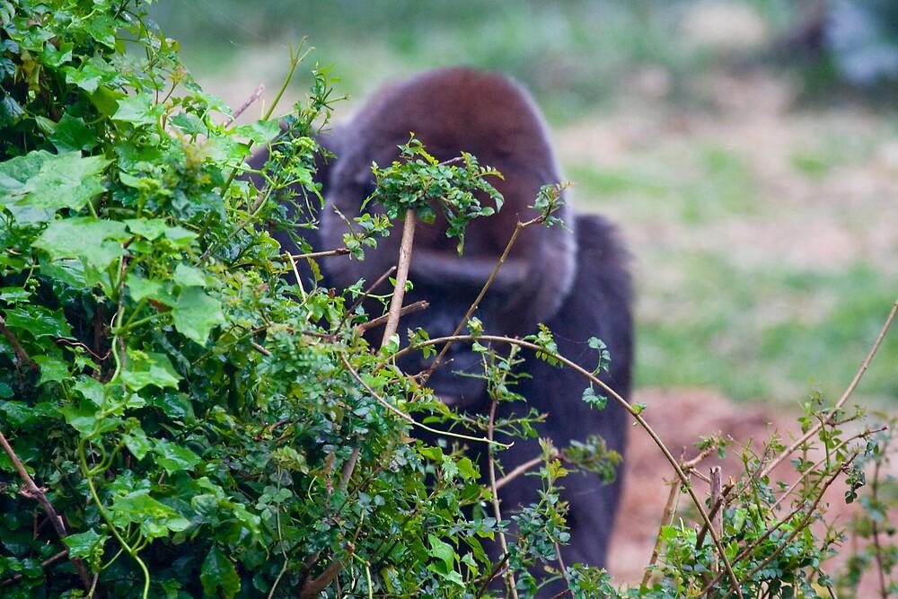 Gorilla hiding by Michael Freedman