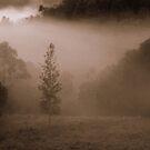 Silky Oak by Lachlan Kent