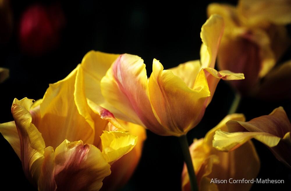 "Triumf Tulipa ""Indian Summer"" by Alison Cornford-Matheson"