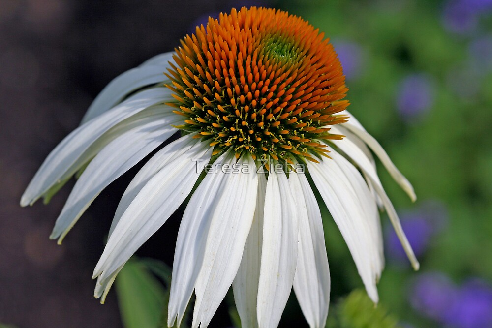 Coneflower by Teresa Zieba
