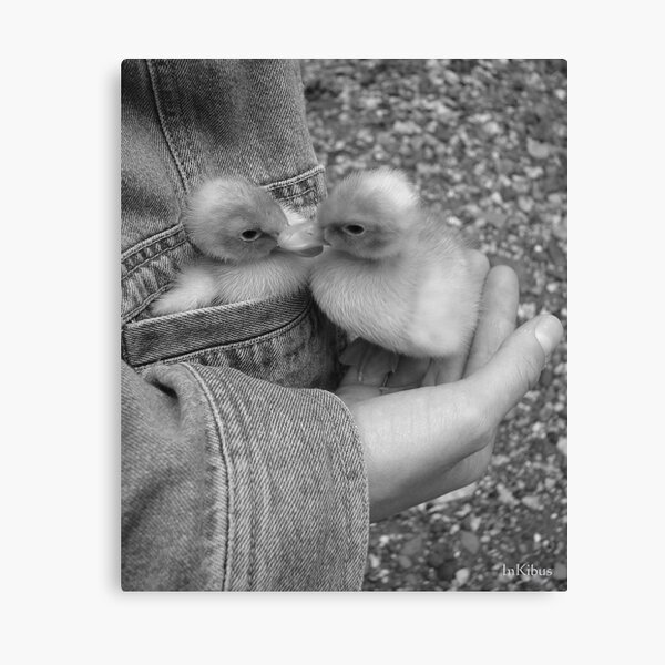 Pocket of duck 1 Canvas Print