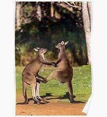 Fighting Kangaroos Poster